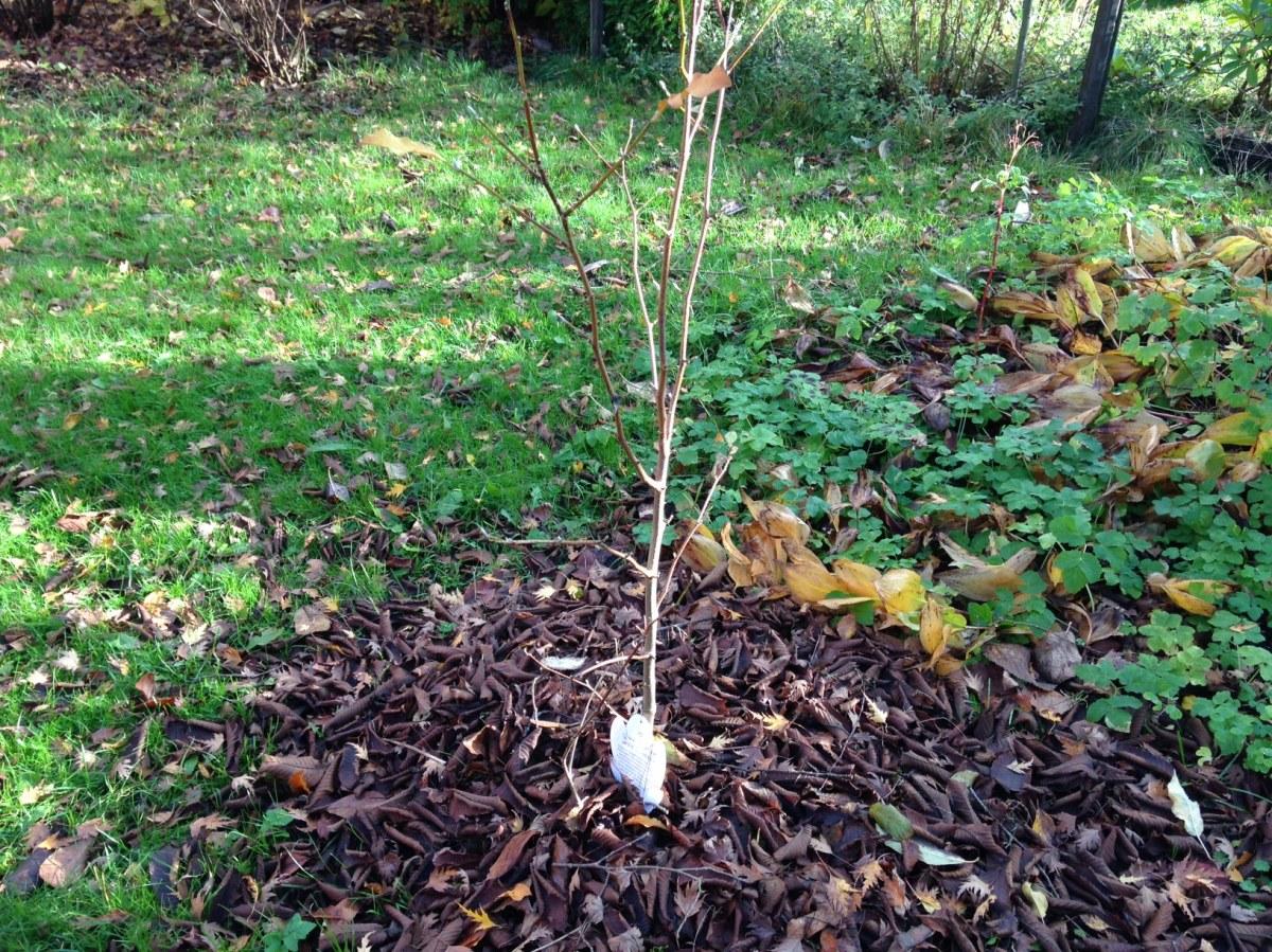 Magnolia höst