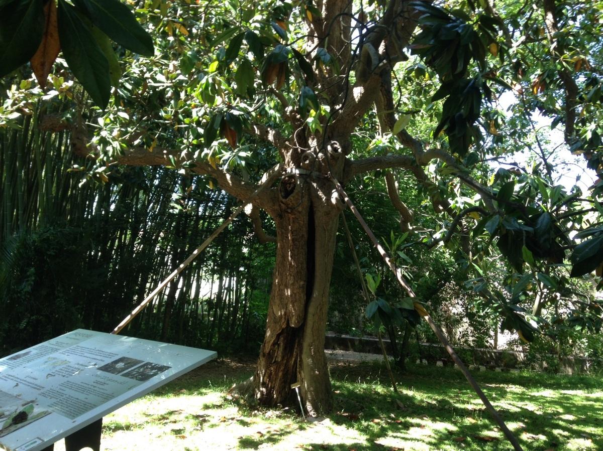 Magnolia i Pisa