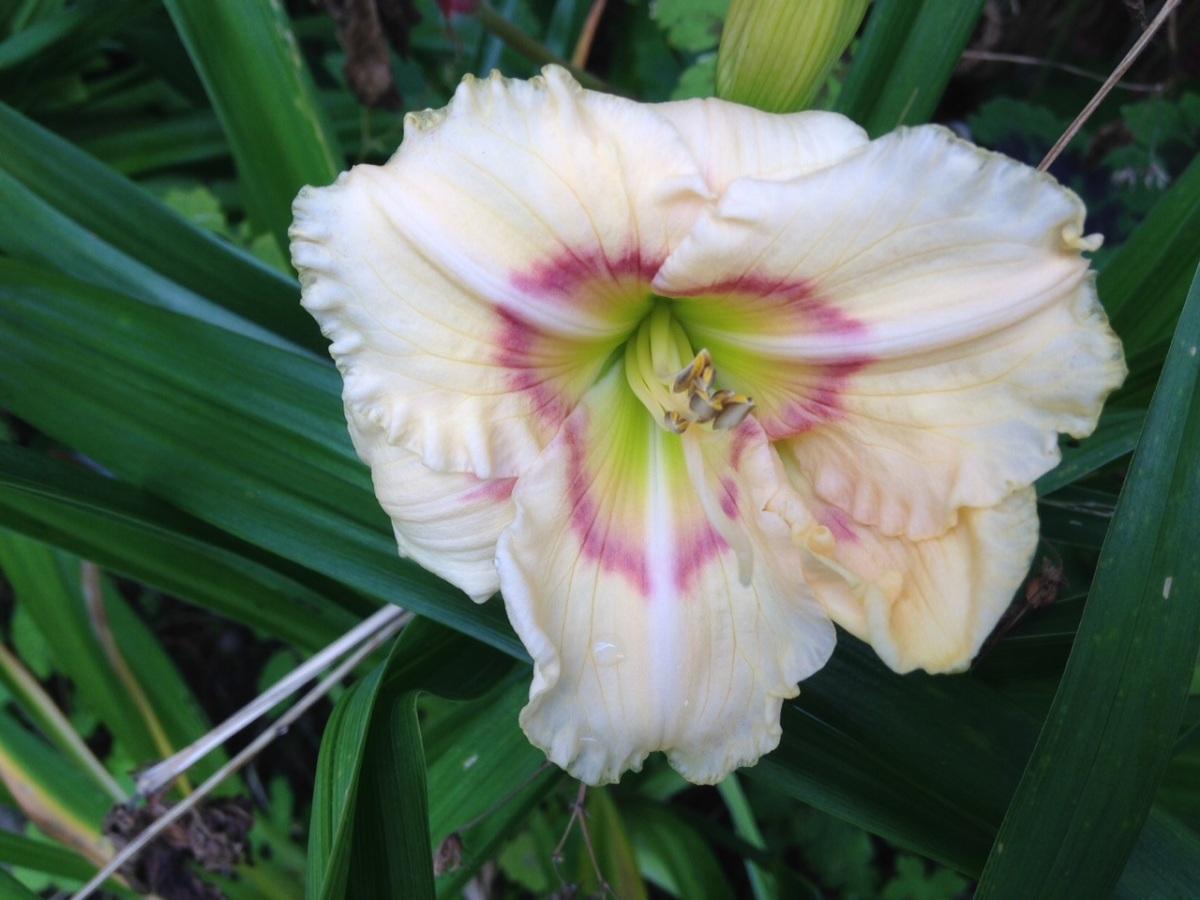 21 juli lilja