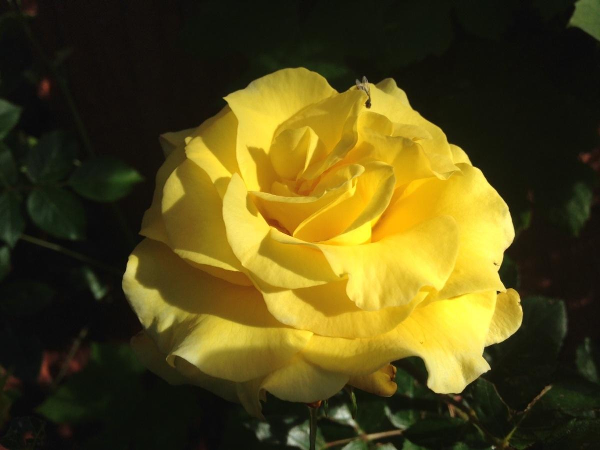 gul ros 1 juli