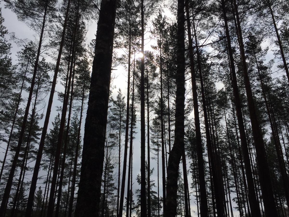 Skog i ljus.JPG