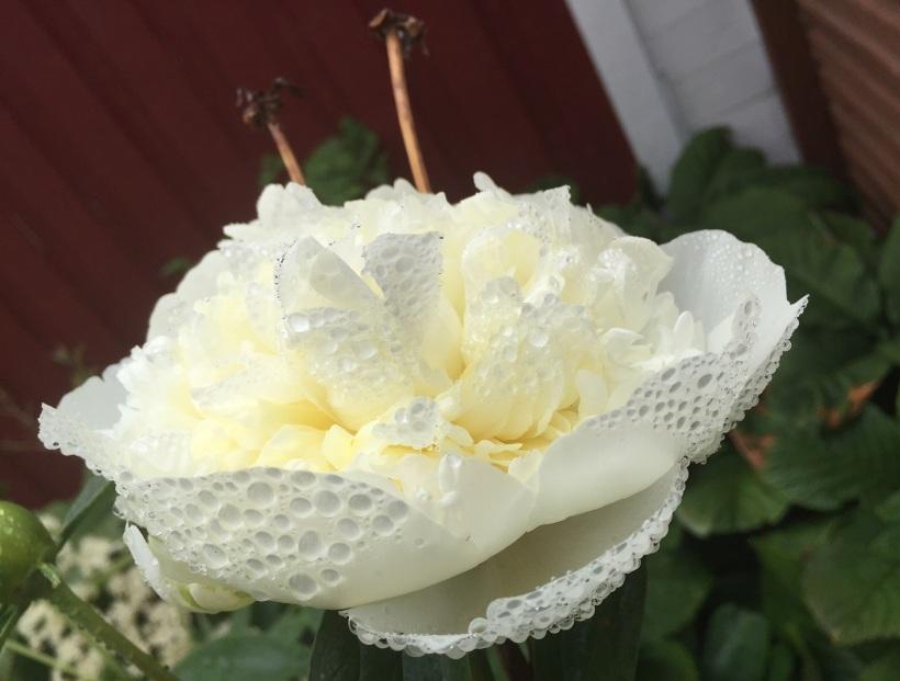 19 juni vit pion