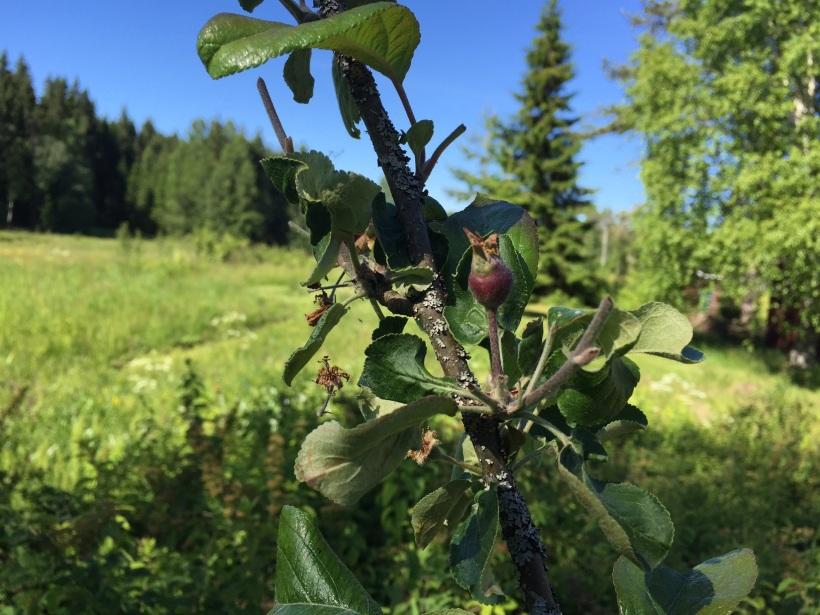 Äpplekart